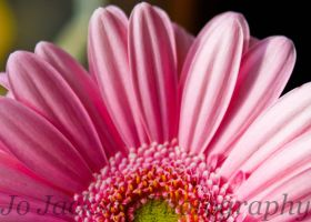 Pale Pink Gerbera by Britwitch-1981