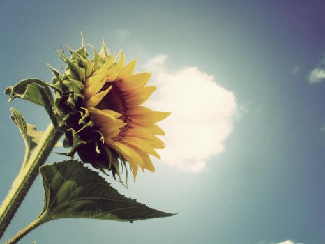 sunflower by Cadenzalio