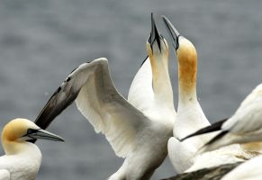Gannet Greeting by Shadow-and-Flame-86