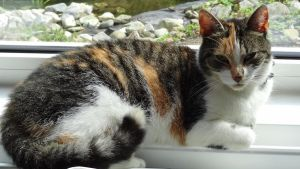 Misty - Lying Female Calico Cat by Horselover60-Stock