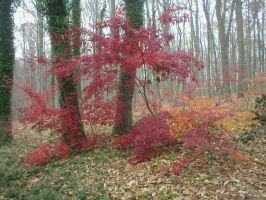 Japanese Maples in November by bbwannabe