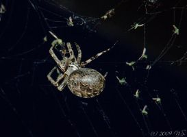 Garden Spider by ninas-photography
