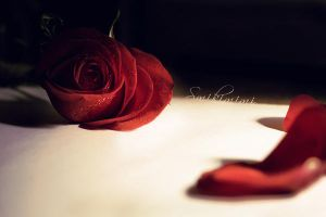 A Simple Red Rose by Smikimimi