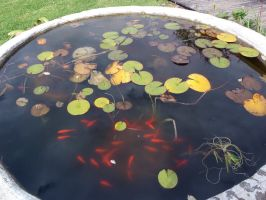 Lillypad Goldfish Pond 1 by GoblinStock