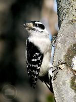 Woodpecker, take two. by Littography