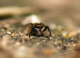 Euophrys frontalis Male enjoying some food by TheFunnySpider