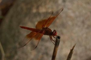 Dragonfly by stevecliff