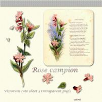 Rose campion by libidules