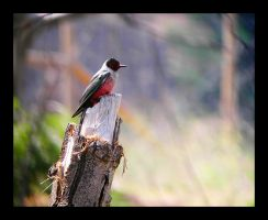 Lewiss Woodpecker by swashbuckler
