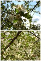 Sour Cherry Flowers by KovPet
