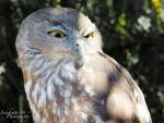 Australian Barking Owl by Indefinitefotography