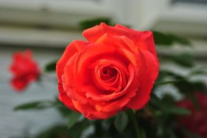 Brown's Rose 2012 by sunflowercyclist