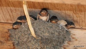 Barn Swallows by lenslady