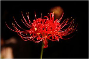 Red Spider Lily by Ryson725