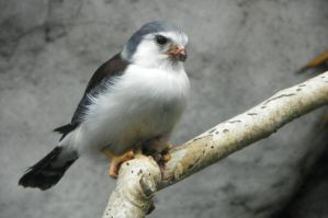 African Pygmy Falcon by DingoDogPhotography