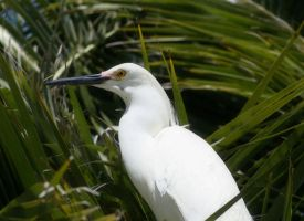 Noble Egret by kalliope94041