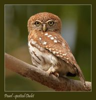 I'm watching you Mister  - Pearl-spotted Owlet by Jamie-MacArthur