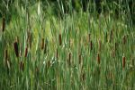 Cattails by Loryn-Lees