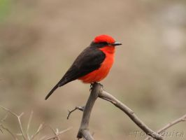 Male Vermilion Flycatcher by perubirder