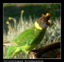 Port Lincoln Ringneck by AdamsWife