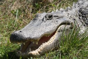 Sunning American Alligator - Aransas Refuge by Shadow848327