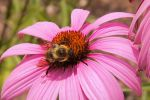 A bee, doing his thing.... by CatskillCat