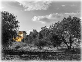 Olive trees in Metula by ShlomitMessica