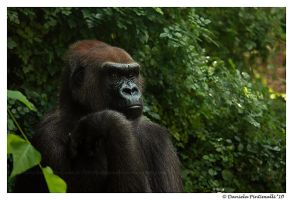 Gorilla Portrait II by TVD-Photography