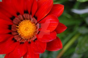 Gazania by snapshot-and-capture