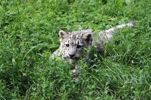 Snow Leopard Kitten by Vertor