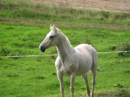 Horses Collection: White 3 by Germanstock