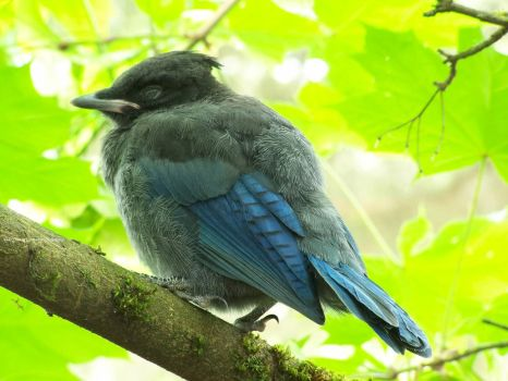 young Steller's Jay by SeanTheCarSpotter