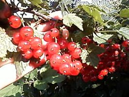 red currants by Smolipaluch