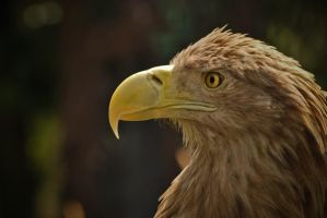 eagle from Poland by carlarush