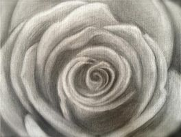 Flower Study - Rose by ArtemAmoris