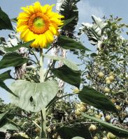 Desaturated Sunflower by ChillBebop
