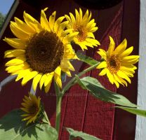Day 29 - Daily Sunflower Pictures by Tails-155