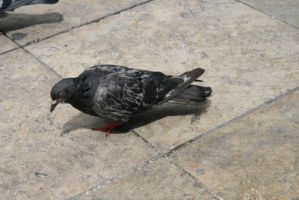 Pigeon by black-cat16-stock