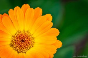 Yellow flower by lucianoW
