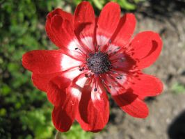 Red Anemone by musicalcat