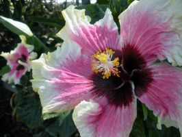 Yellow and pink hibiscus 2 by fosspathei