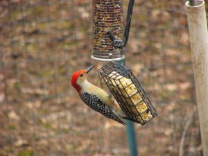 P1060881_RedBellyWoodpecker by NemoNameless