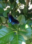 Red-spotted Purple by MasterMitosi