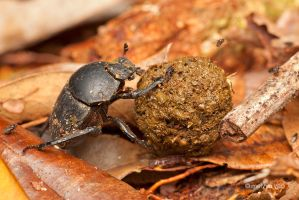 Dung beetle by melvynyeo