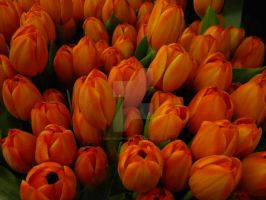 tulips by deep-south-mele