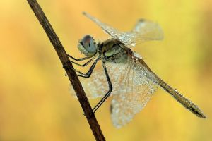 Dragonfly by papkin11