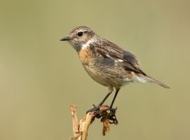 I'm so cute - Stonechat fledgling by Jamie-MacArthur