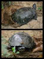 nesting painted turtle by photom17