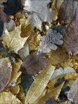 Electroplated Leaves by Undistilled