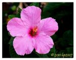 Hibiscus flower by bp2007